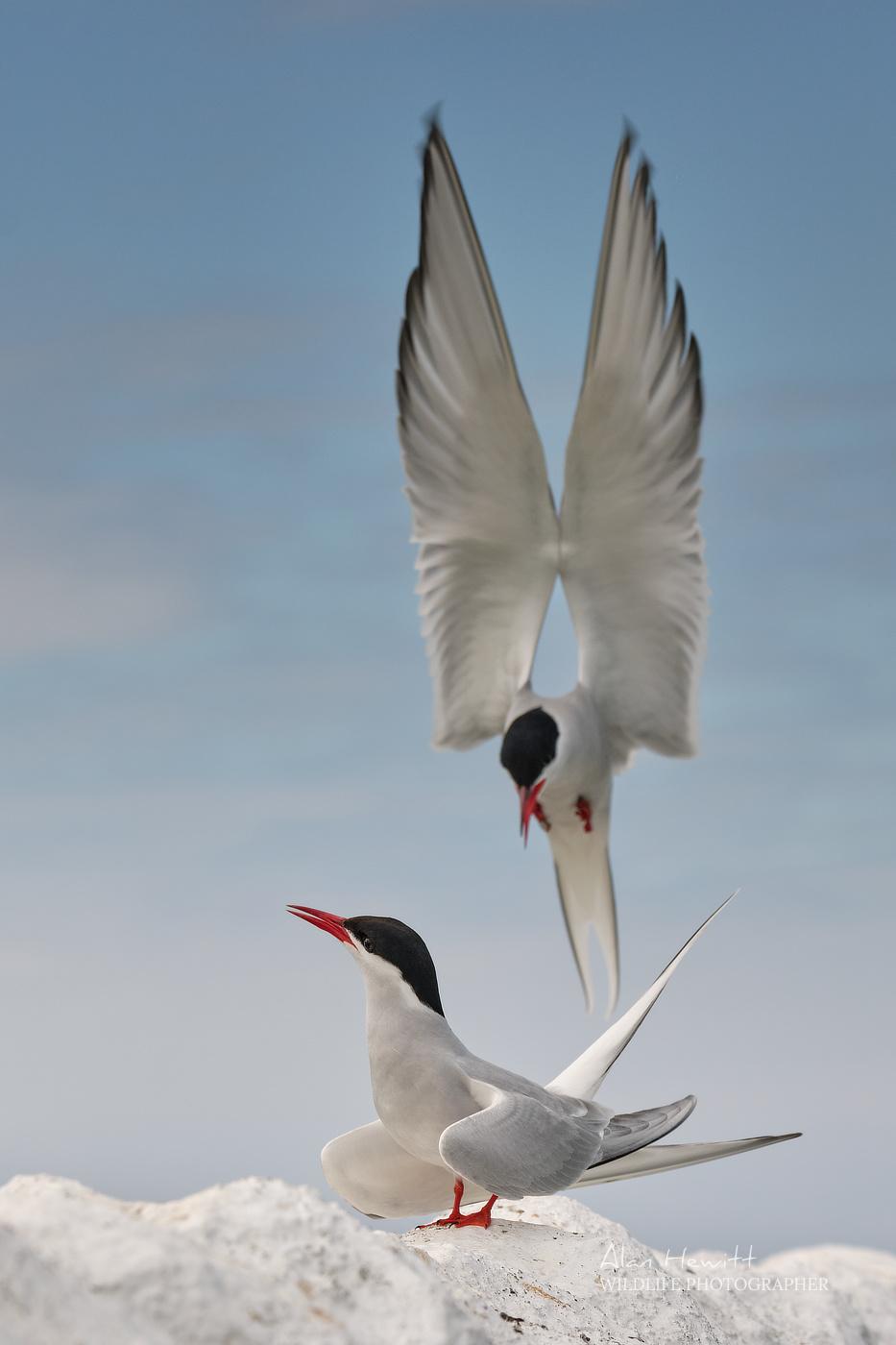 Arctic Terns, Inner Farne. Farne Islands Wildlife Photography Workshop