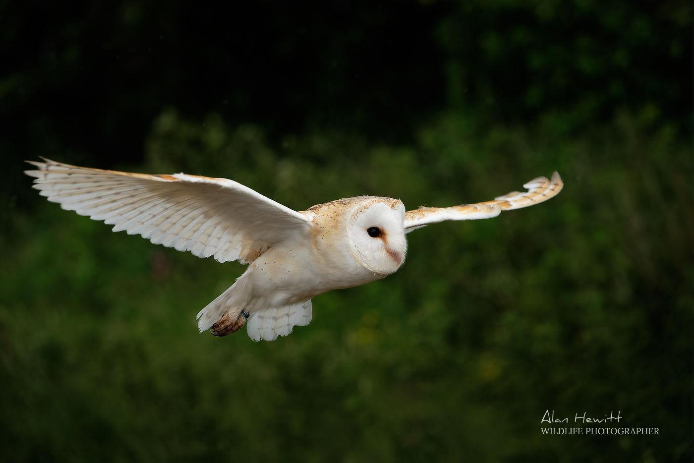 Barn Owl, Northumberland Birds of Prey Photography Workshop