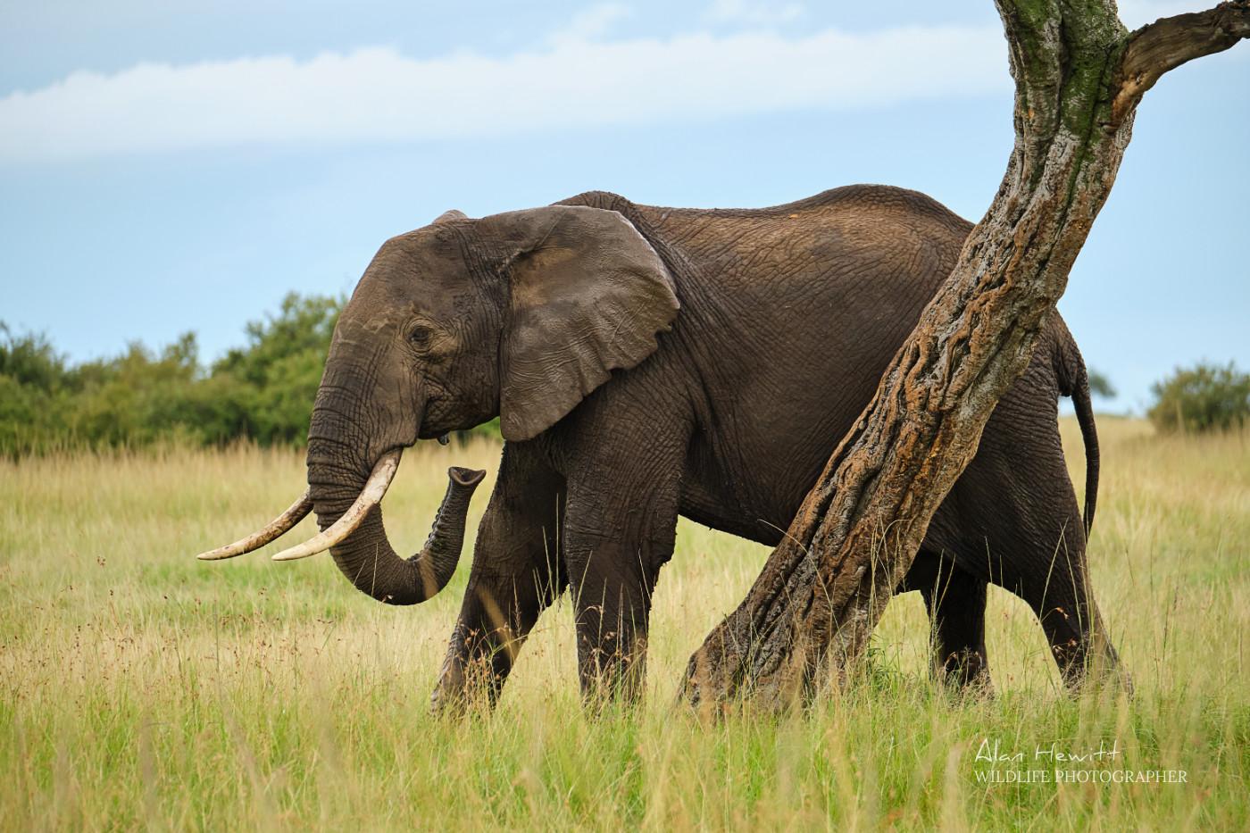 Elephant, Masai Mara Wildlife Photography Safari