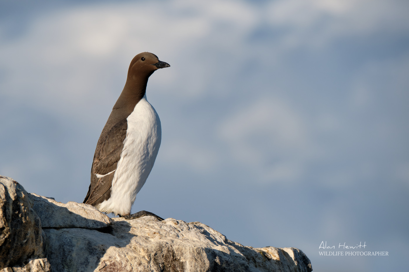 Common Guillemot, Inner Farne. Farne Islands Wildlife Photography Workshop