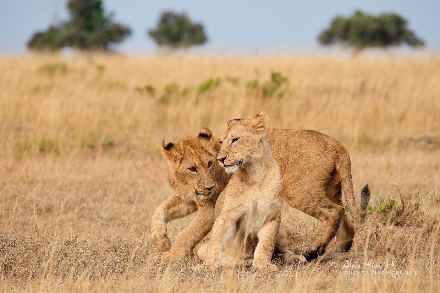 Playful Lion Cubs, Masai Mara Wildlife Photography Safari