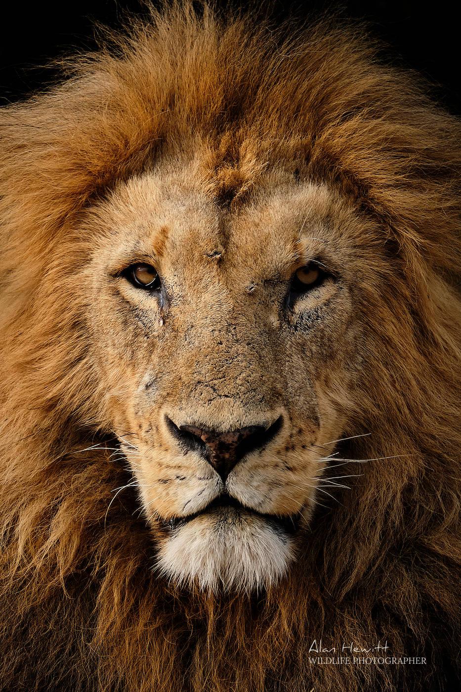 Lion, Masai Mara Wildlife Photography Safari