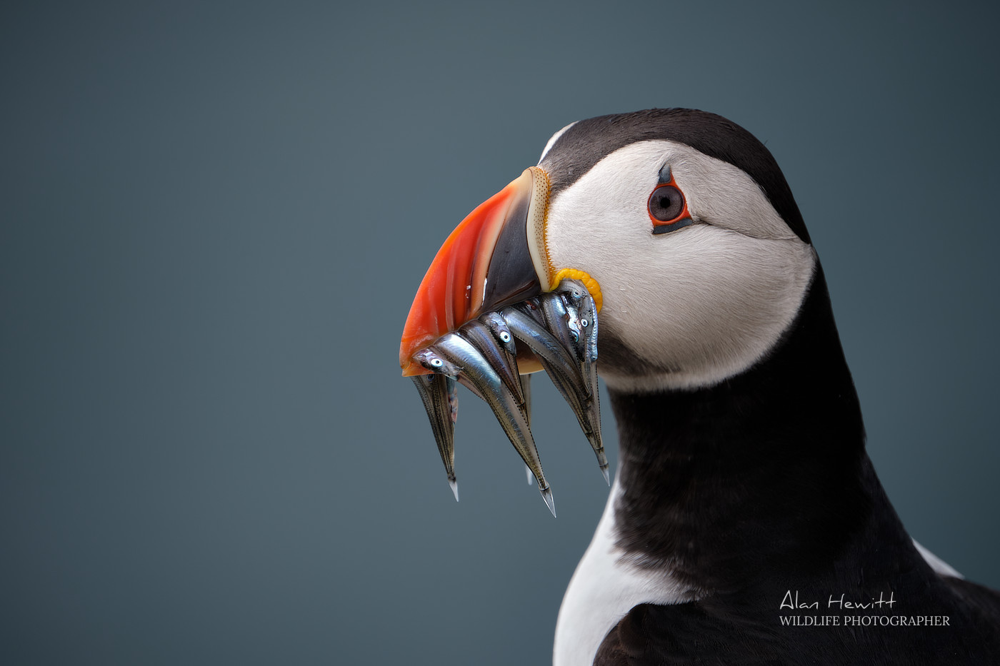 Atlantic Puffin, Inner Farne. Farne Islands Wildlife Photography Workshop