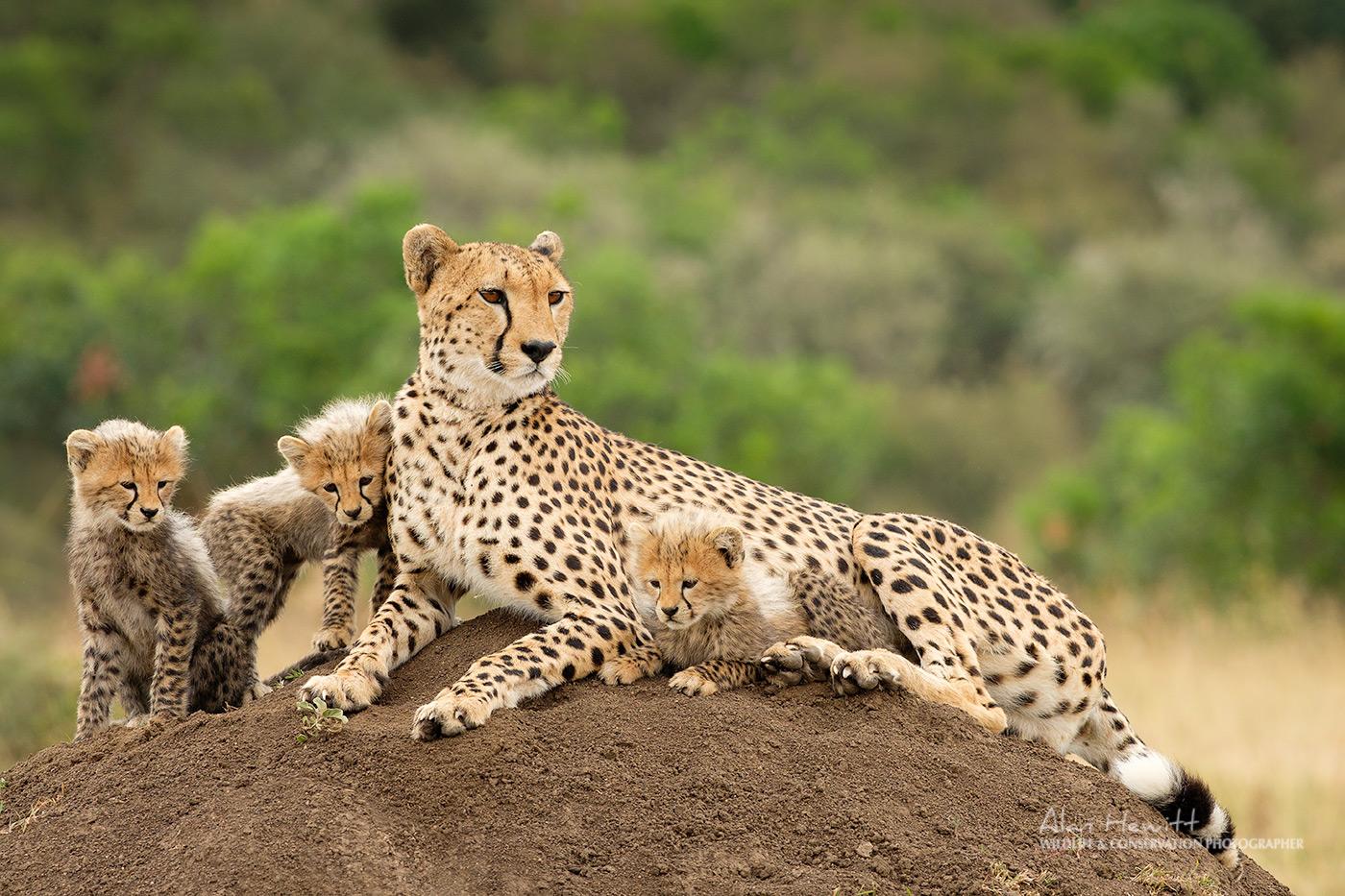 Cheetah & Cubs, Masai Mara Wildlife Photography Safari