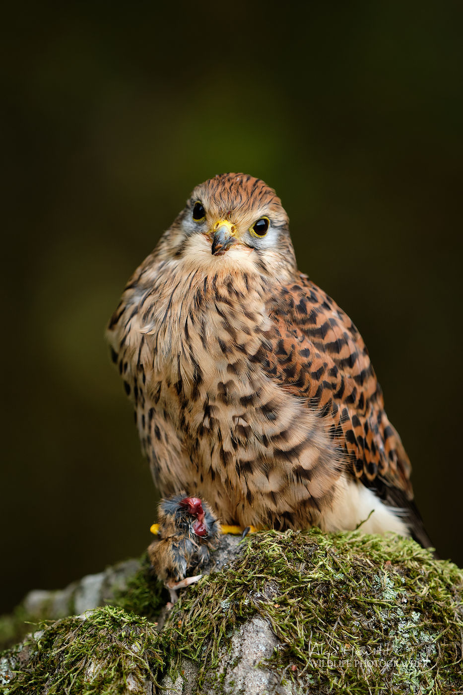 Common Kestrel, Northumberland Birds of Prey Photography Workshop
