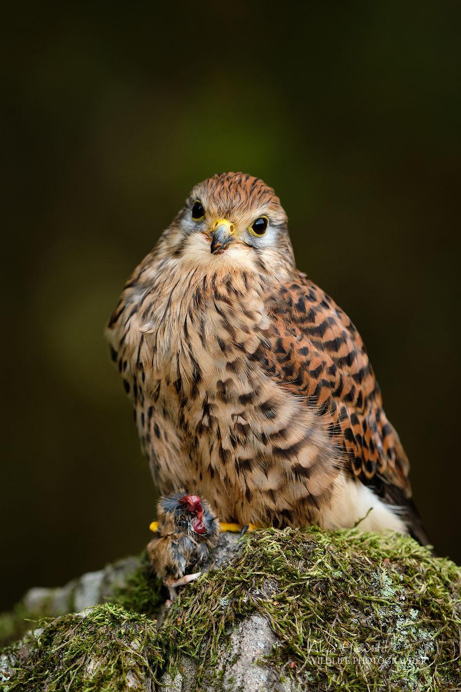 Common Kestrel, Northumberland Birds of Prey Photography Workshop