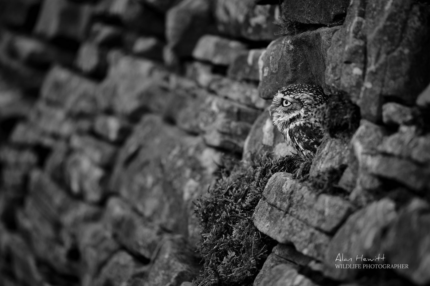 Little Owl, Northumberland Birds of Prey Photography Workshop