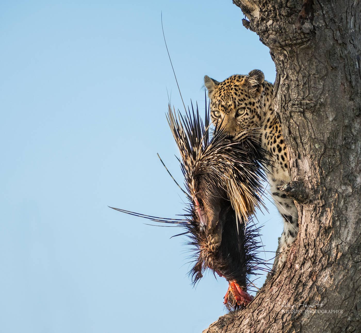 Leopard & Porcupine Alan Hewitt Photography