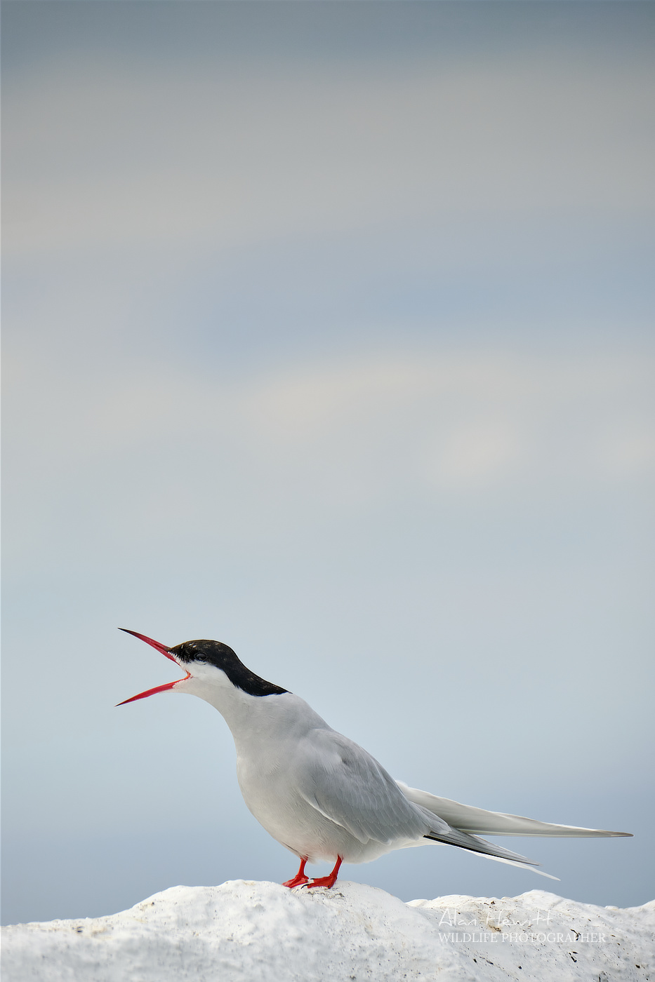 Arctic Tern, Frames per second Alan Hewitt Photography