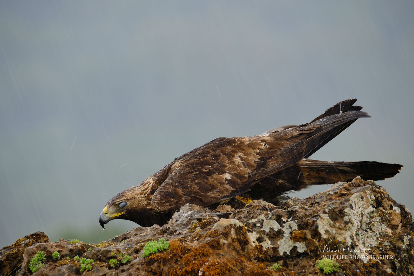 Golden Eagle Alan Hewitt Photography