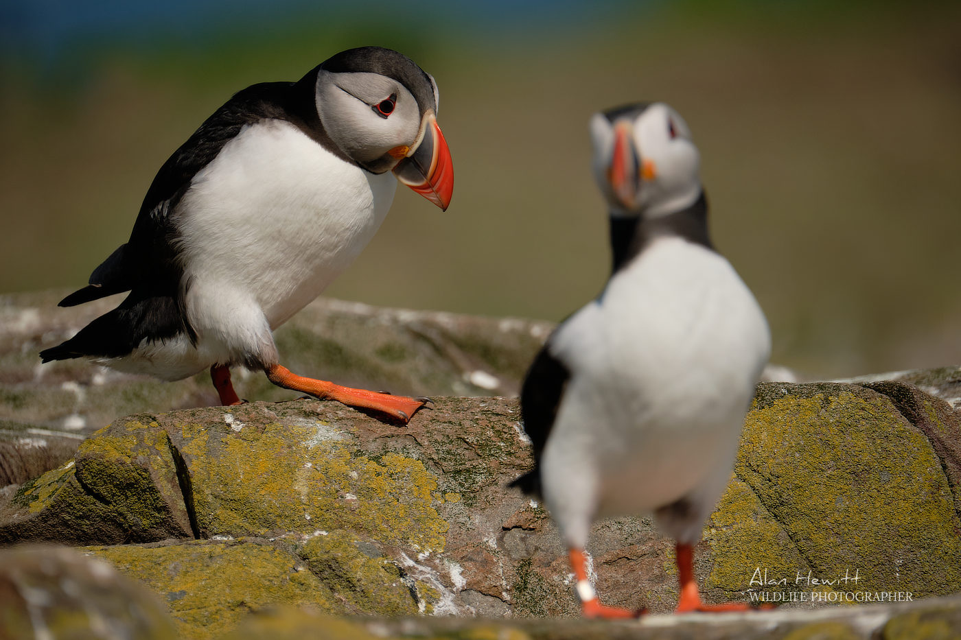 Atlantic Puffin Alan Hewitt Photography