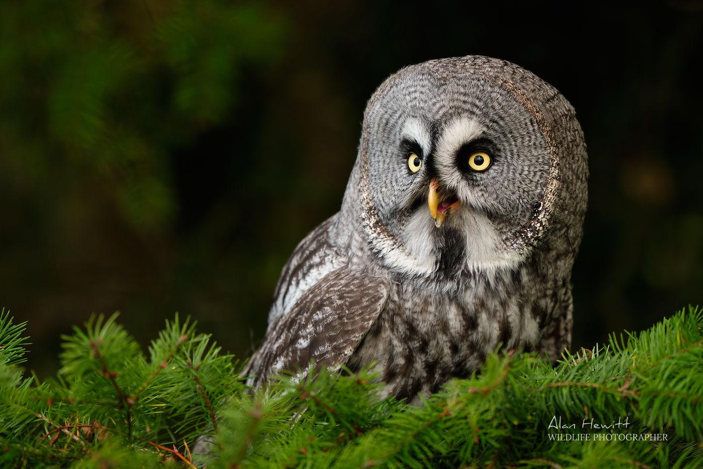 Great Grey Owl Fujifilm 200mm f/2