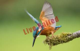 Live Baited Kingfisher Alan Hewitt Photography