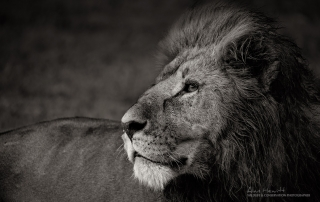 Male Lion Alan Hewitt Photography