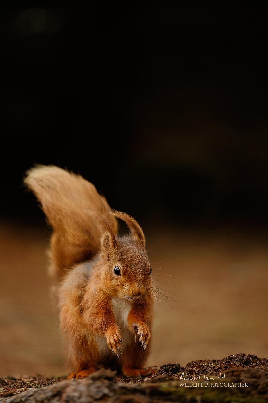 Red Squirrel Alan Hewitt Photography