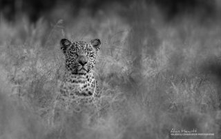 Young male Leopard 'Hosanna' - Alan Hewitt Photography