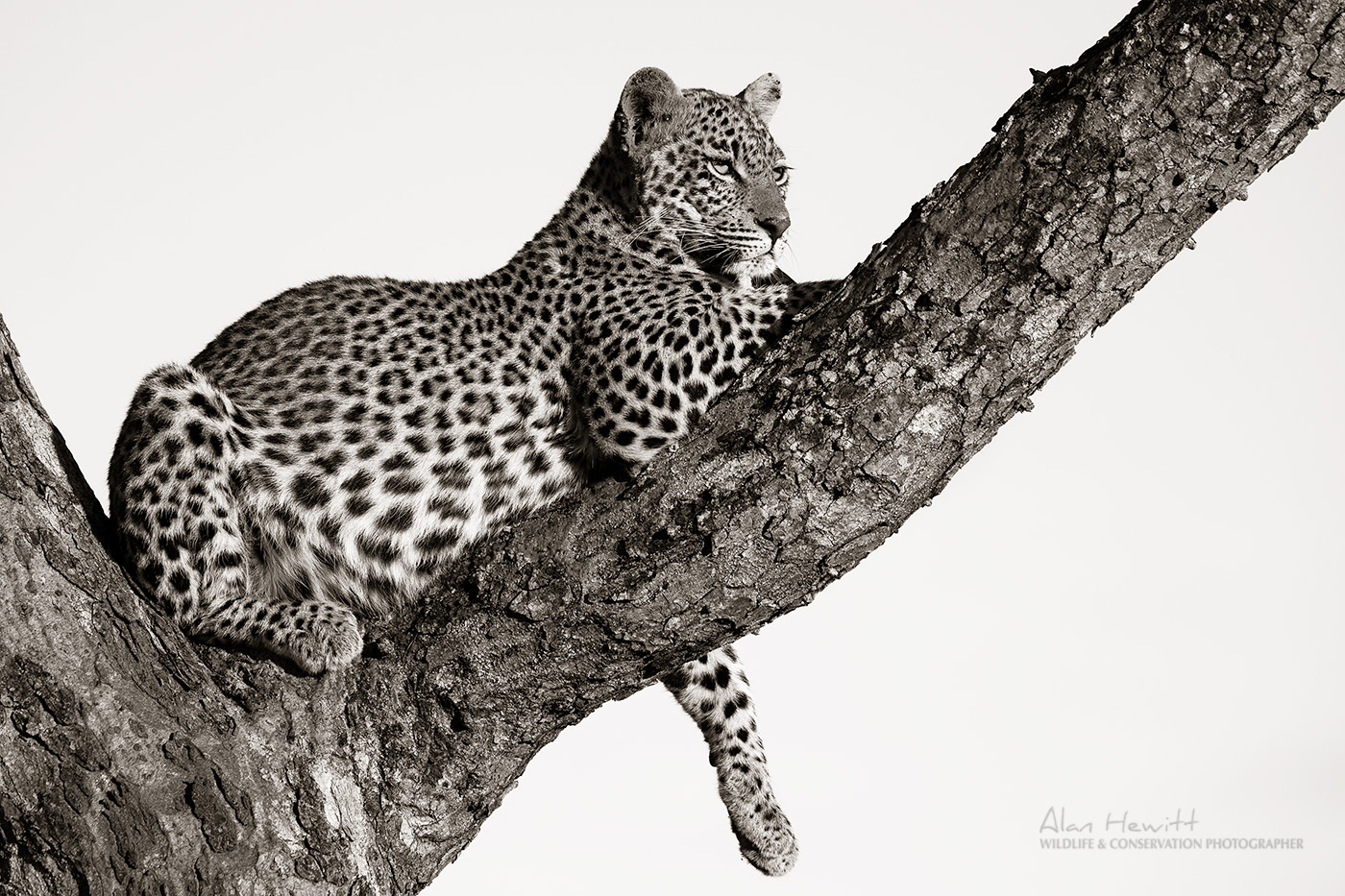 Leopard, Timbavati Wildlife Photography Safari Alan Hewitt Photography