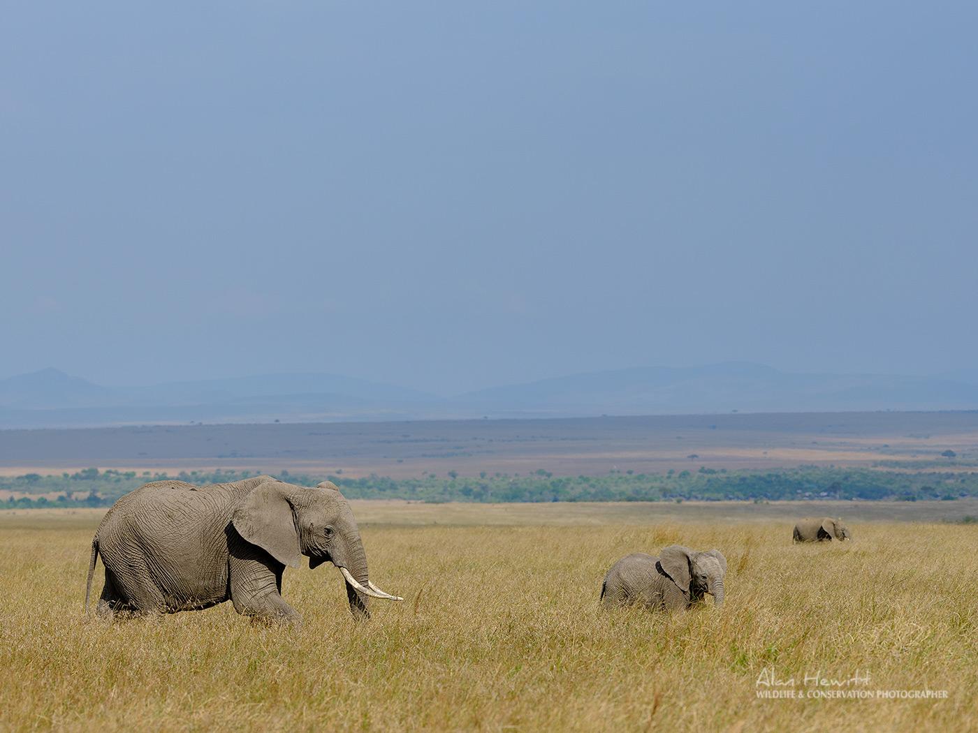 Elephants – Fujifilm GFX50s & GF250mm Alan Hewitt Photography