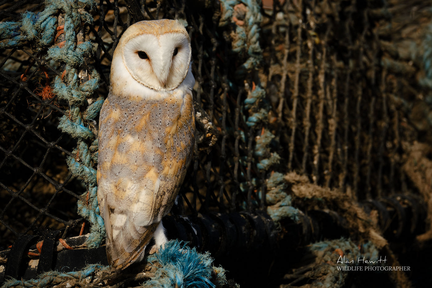 Barn Owl, Holy Island Photography Workshop