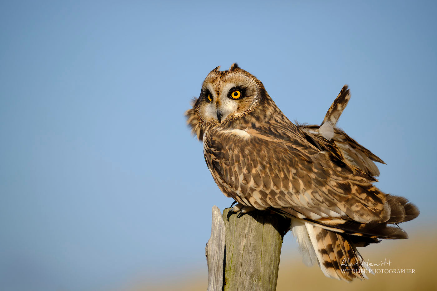 Short Eared Owl, Holy Island Photography Workshop