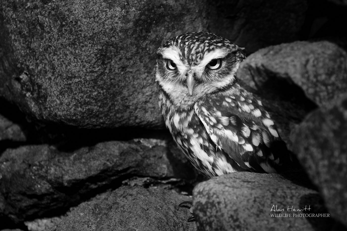 Little Owl, Holy Island Photography Workshop