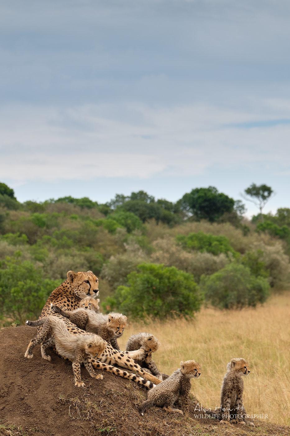 Cheetah & Cubs, Masai Mara Graduated filters and wildlife photography