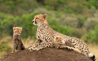 'Kisaru', female Cheetah. Photographed with the Fujifilm X-H1 & Fujinon 200mm f/2 & 1.4x f/2 converter. Alan Hewitt Photography
