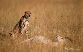 Female Cheetah, 'Kisaru' & Grant's Gazelle prey. Photographed with the Fujifilm X-H1 & Fujinon 200mm.