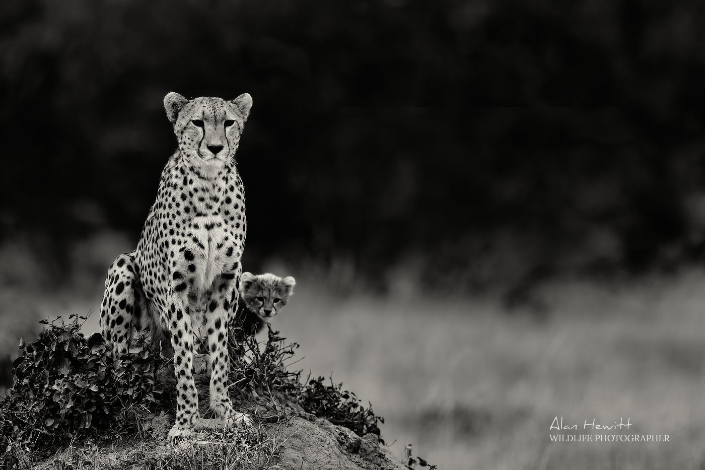 Female Cheetah, 'Kisaru'. Photographed with the Fujifilm X-H1 & Fujinon 200mm f/2 & 1.4x f/2 converter.
