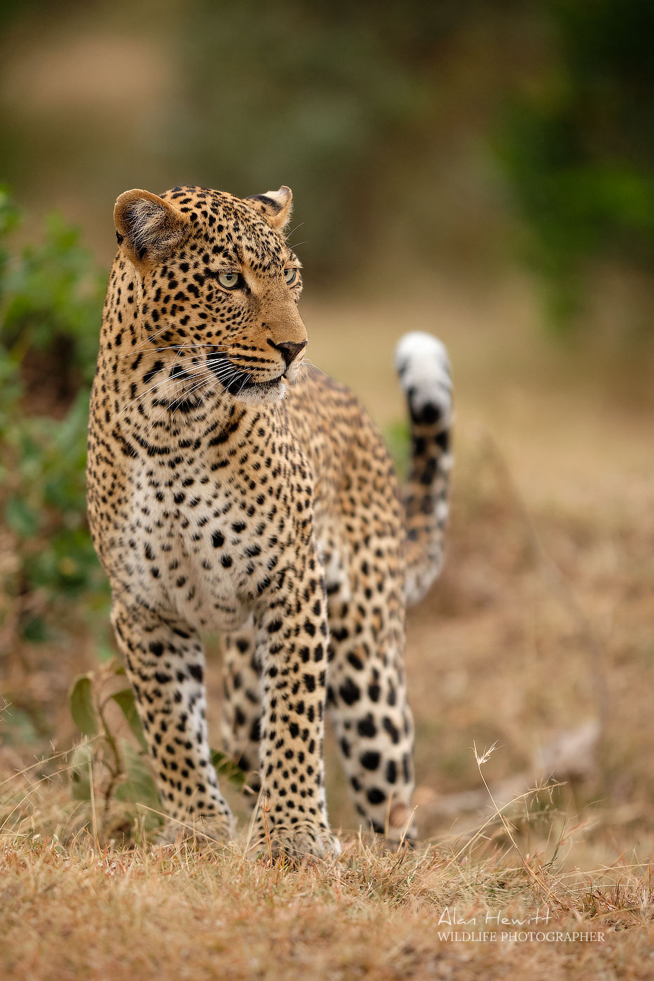 Female Leopard, Ol Choro Conservancy. Photographed with the Fujifilm X-H1 & Fujinon 200mm f/2.