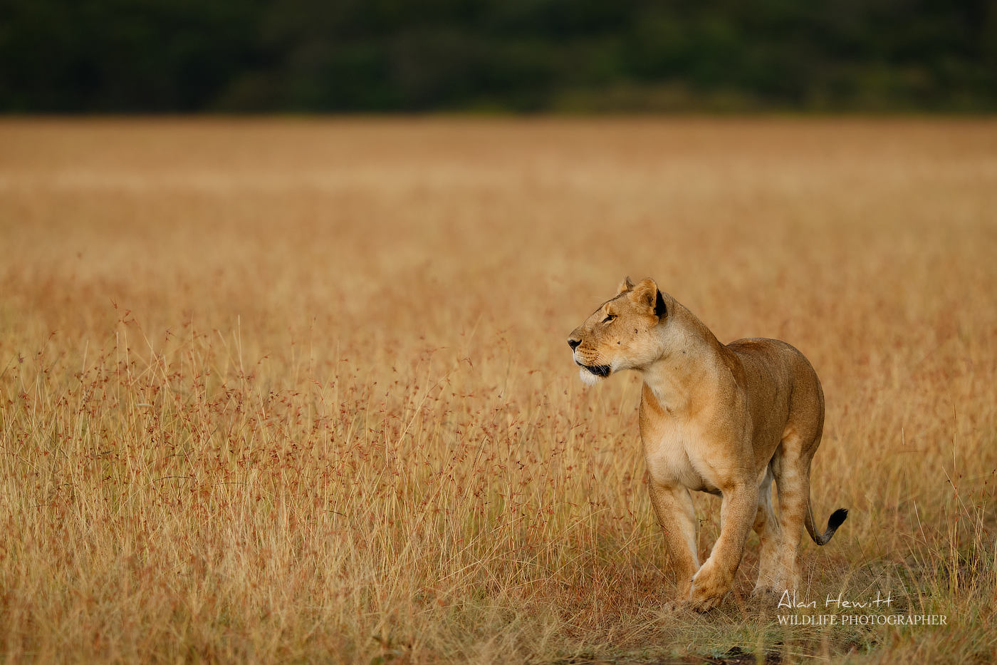Lioness of the Lemek Pride. Photographed with the Fujifilm X-H1 & Fujinon 200mm f/2 & 1.4x f/2 converter.
