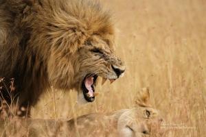 'Barikoi', male Lion of the Lemek Pride. Photographed with the Fujifilm X-H1 & Fujinon 200mm f/2 & 1.4x f/2 converter. Alan Hewitt Photography
