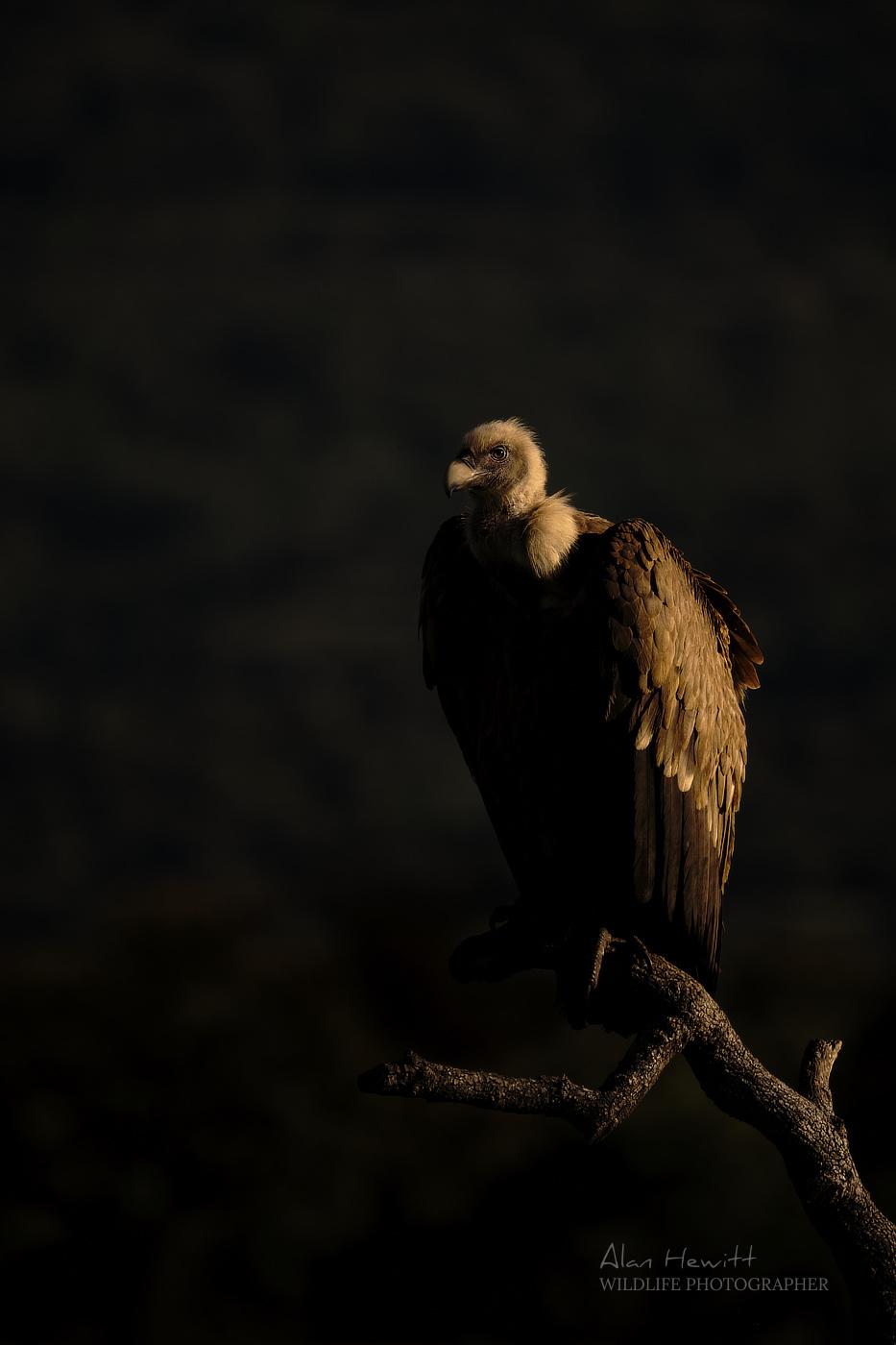 Griffon Vulture Fujifilm 100-400mm