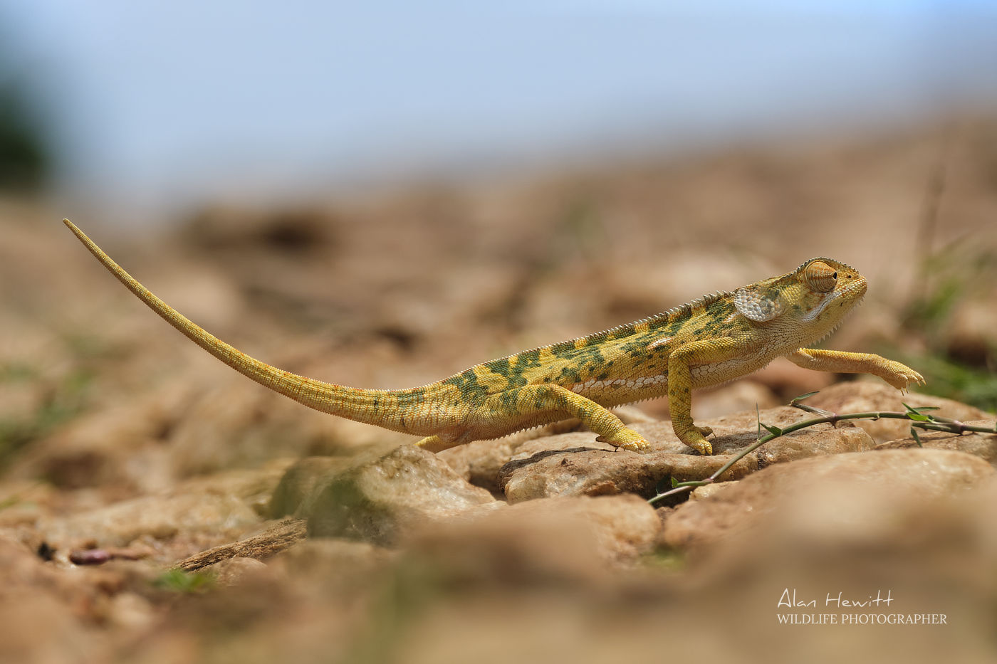 Chameleon X-T4 Alan Hewitt Photography