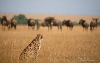 Cheetah and Wildesbeest Alan Hewitt Photography