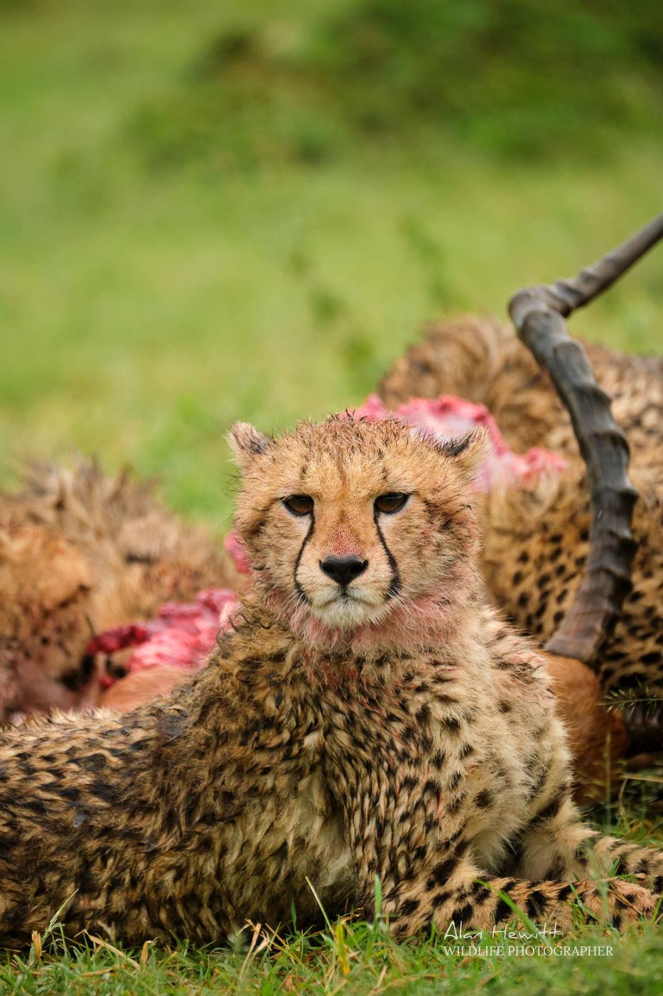 Cheetah FUJIFILM X-T4 Alan Hewitt Photography