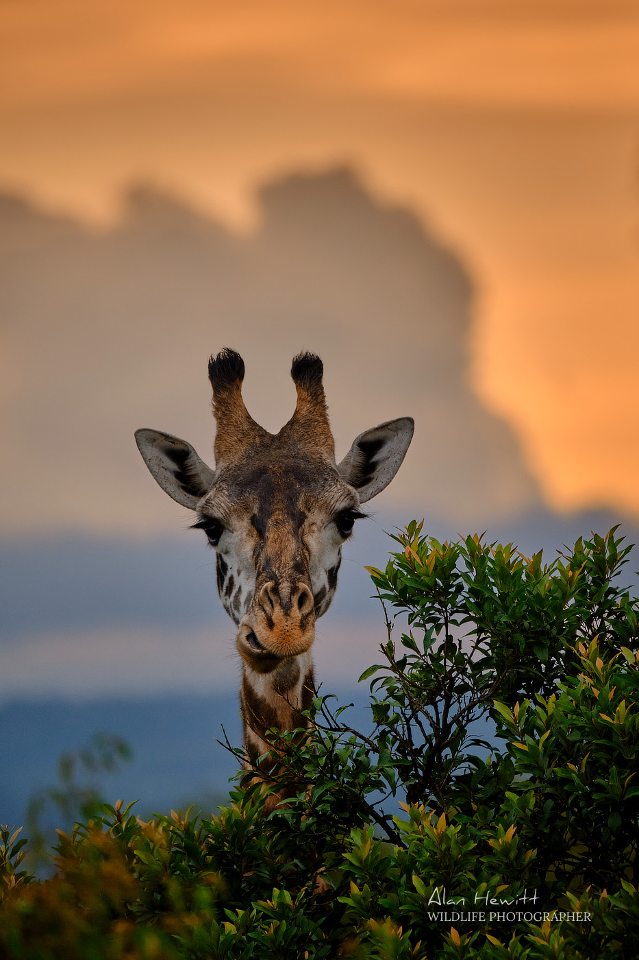 Giraffe Alan Hewitt Photography