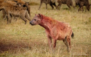 Spotted Hyena Alan Hewitt Photography