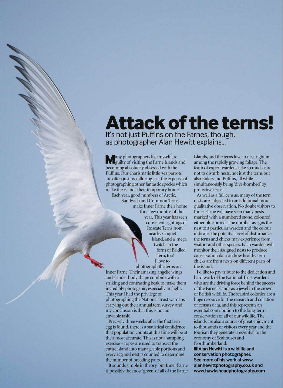 Bird Watching Magazine - Arctic Terns Alan Hewitt Photography