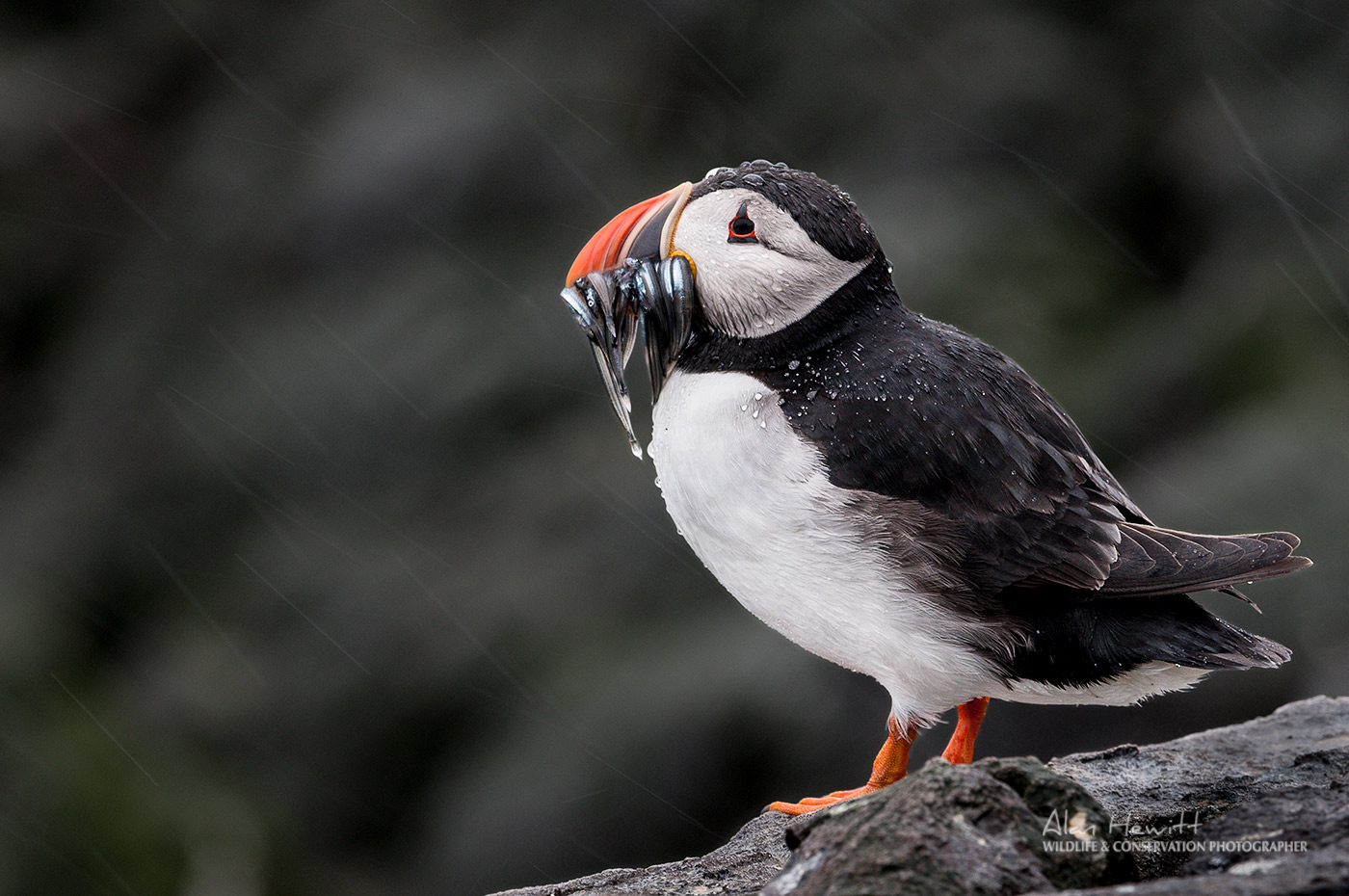 Nature TTL - Farne Islands Puffin Photography: The Galapagos of the North Alan Hewitt Photography