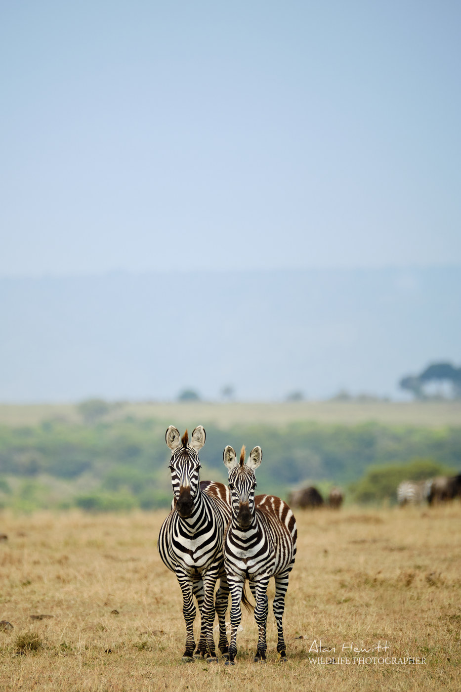 Zebra Alan Hewitt Photography