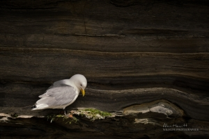 Northumberland Kittiwake Nesting Alan Hewitt Photography