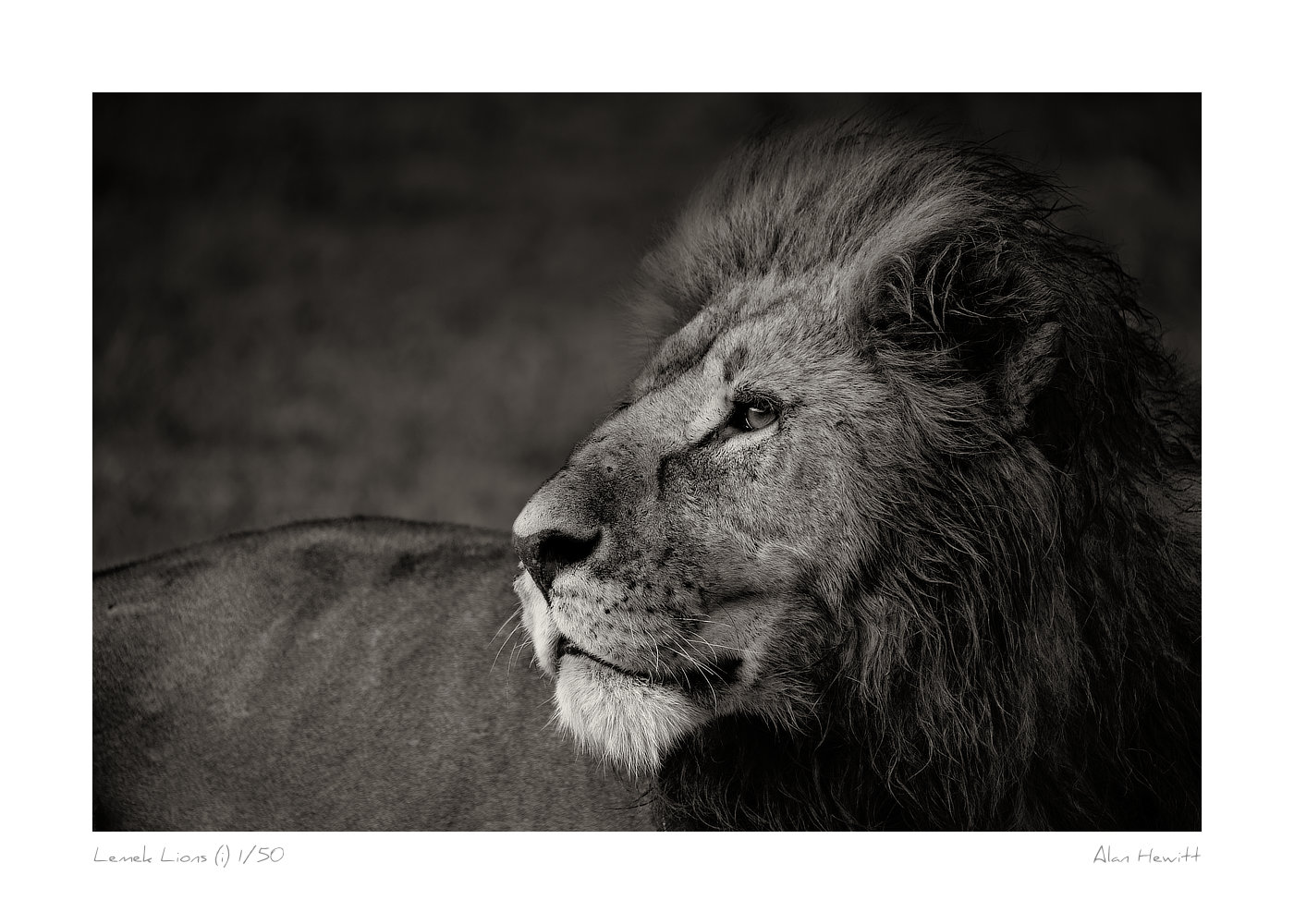 Wildlife Print Male Lion Alan Hewitt