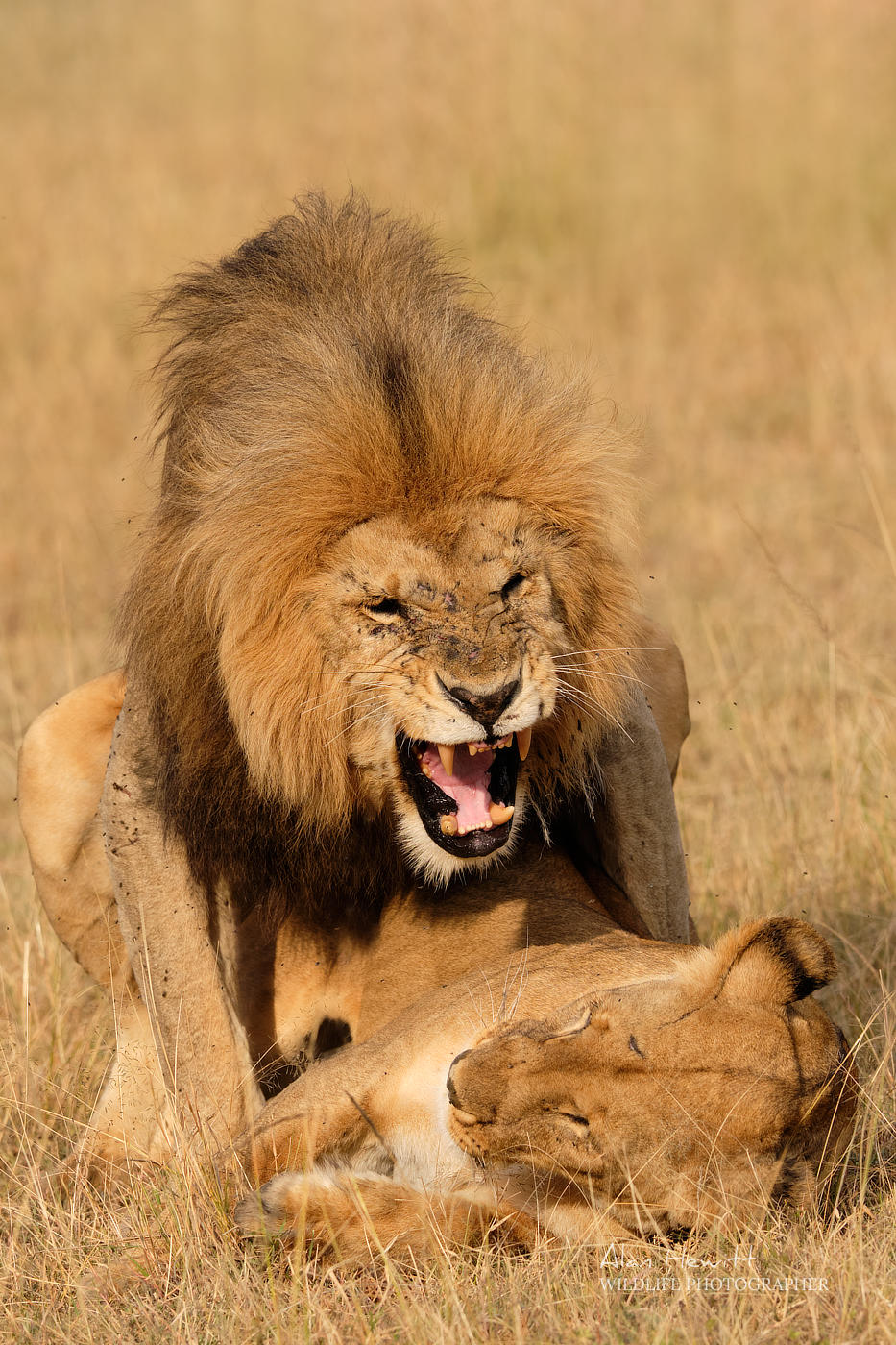 Lions mating Alan Hewitt Photography The New Big 5