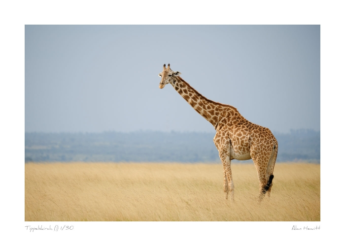 Wildlife Print Tippelskirch (i) Giraffe Alan Hewitt Photography