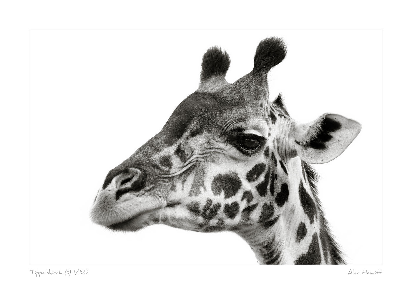 Wildlife Print Tippelskirch (ii) Giraffe Alan Hewitt Photography