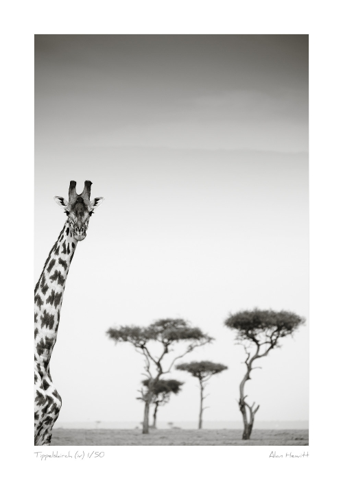 Wildlife Print Tippelskirch (iv) Giraffe Alan Hewitt Photography