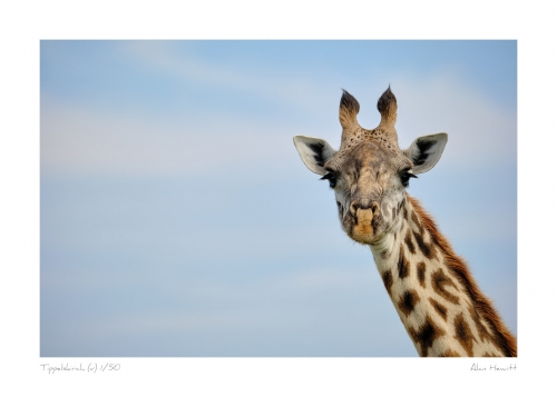 Wildlife Print Tippelskirch (v) Giraffe Alan Hewitt Photography