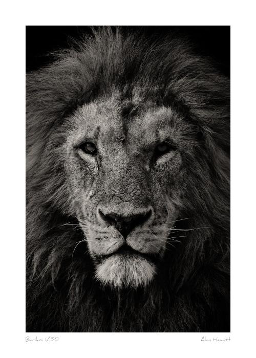 Wildlife Print Lion Barikoi Alan Hewitt Photography
