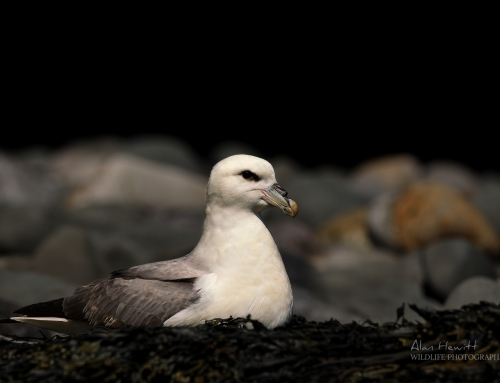 Featured Photograph – Fulmar